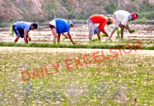 Labourers plant paddy saplings in a field at a border village of Arnia in Jammu district. —Excelsior/Rakesh