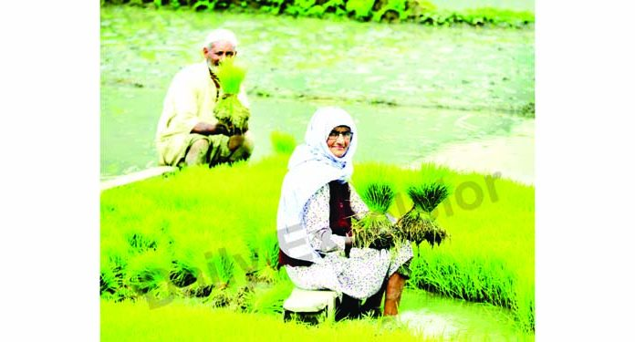 Paddy cultivation in full swing in Bandipora amidst COVID pandemic. —Excelsior/Aabid Nabi