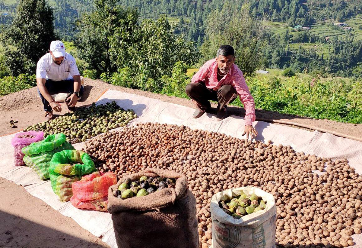 Farmers drying the nuts produced by them in the Udhampur region.