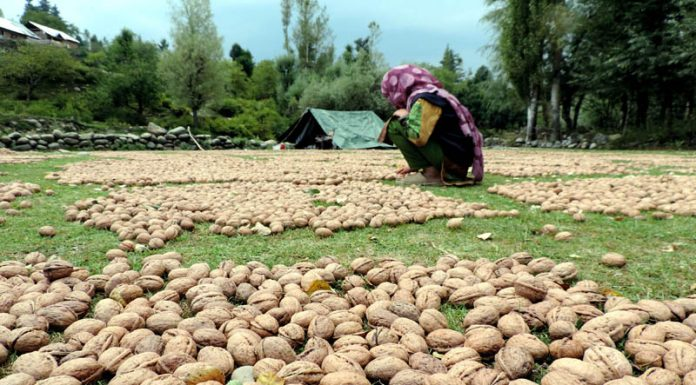 Farmers spread famous Kashmiri Walnuts to dry as harvesting of the crop begins in various parts of the Valley.(UNI)